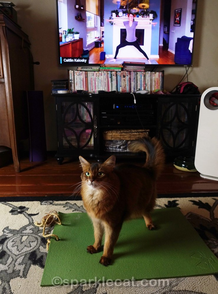 somali cat confused about Warrior Pose