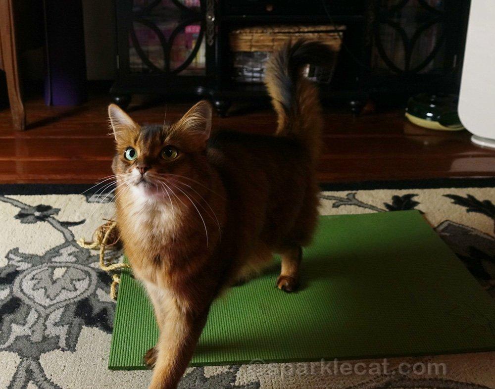 somali cat walking off her mat during yoga class
