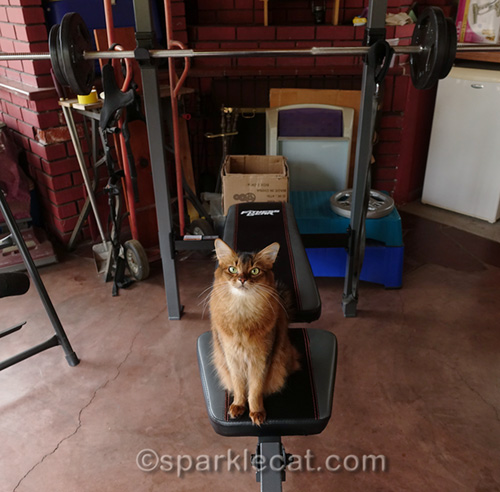 somali cat sitting on new weight bench