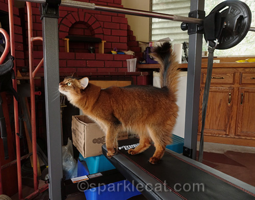 somali cat checks out workout bench