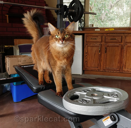 somali cat with 25 lb. weight