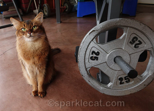 somali cat sitting next to 25 lb. weight