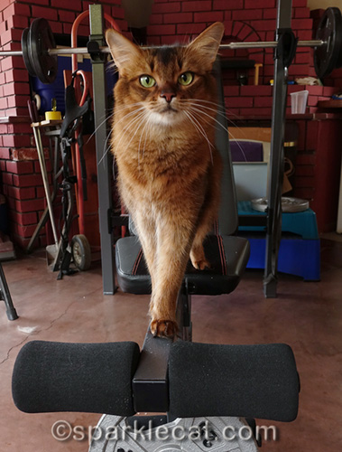 somali cat on balance bar
