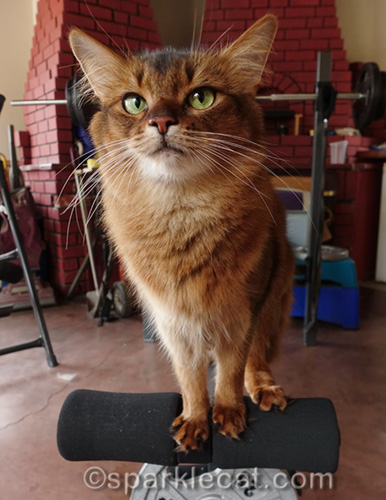 somali cat practicing her balance