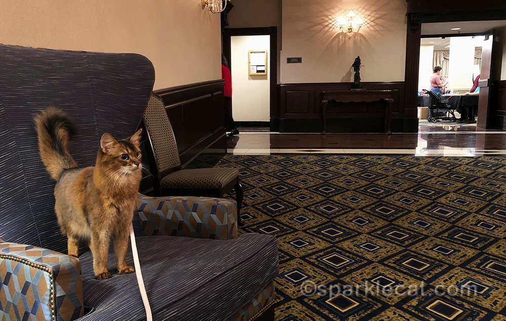 somali cat on leash in hotel common area