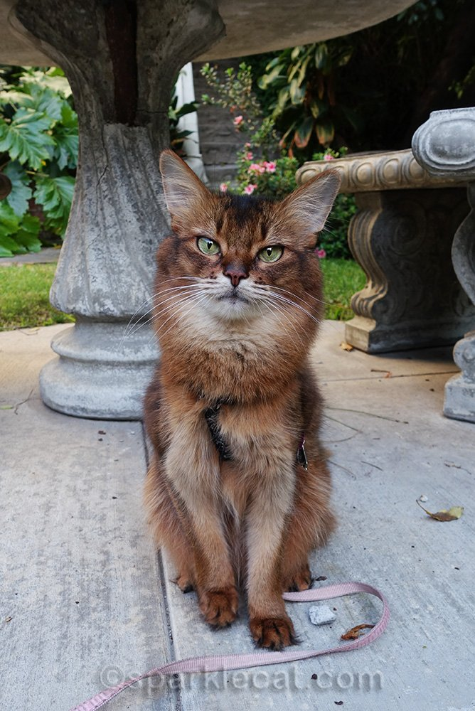 somali cat sitting in front of broken concrete table