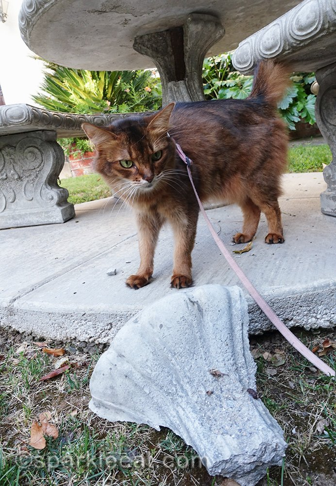 somali cat looking at broken chunk of concrete table