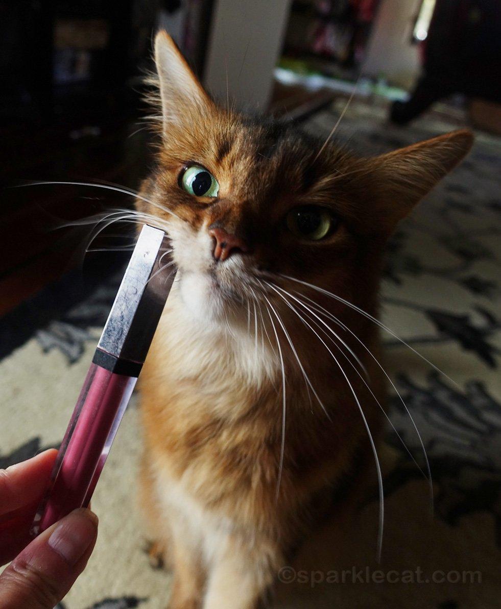somali cat rubbing her face on a lipstick case