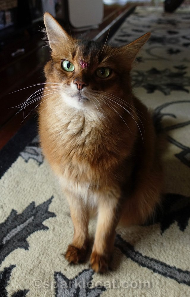somali cat with a dot of lipstick on her forehead