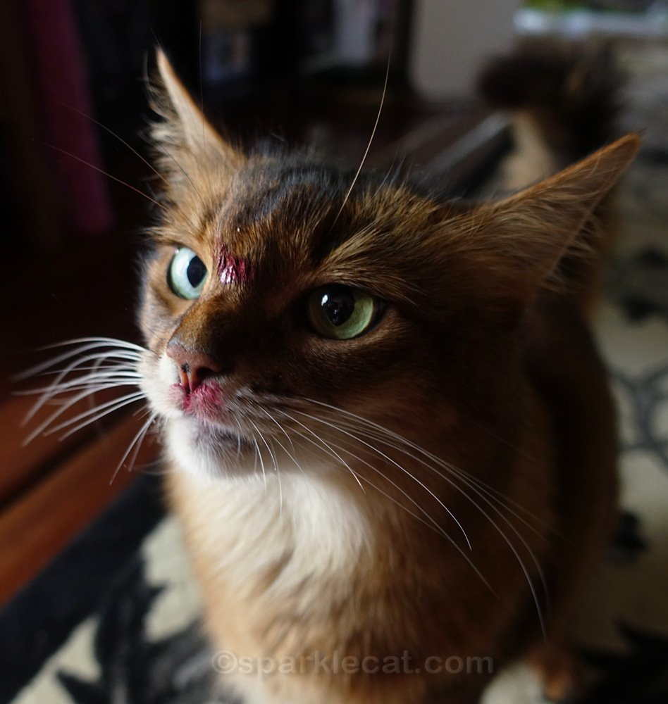 somali cat with lipstick on forehead and face