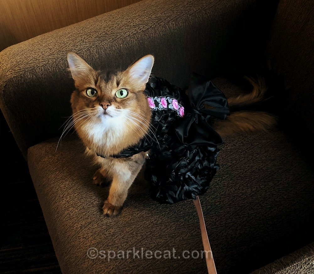 somali cat in fancy dress for big awards show night