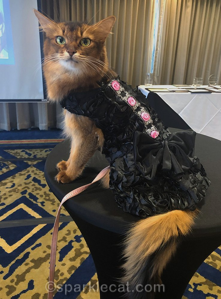 somali cat posing at CWA awards banquet