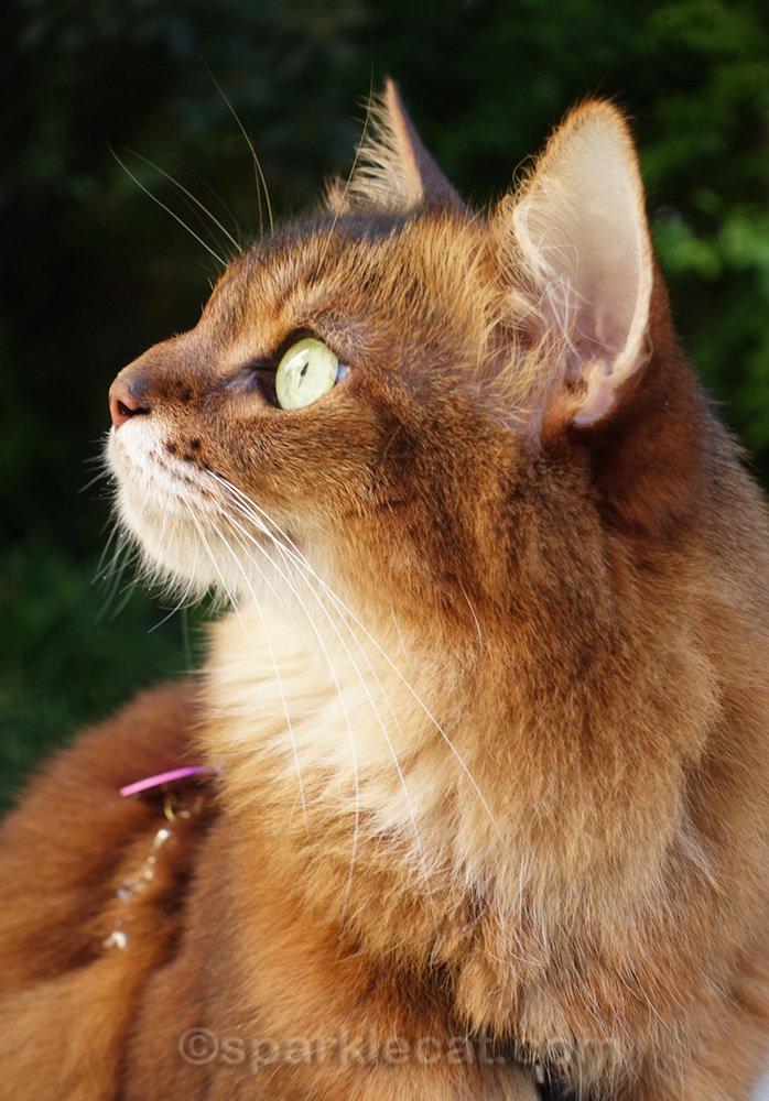 somali cat profile