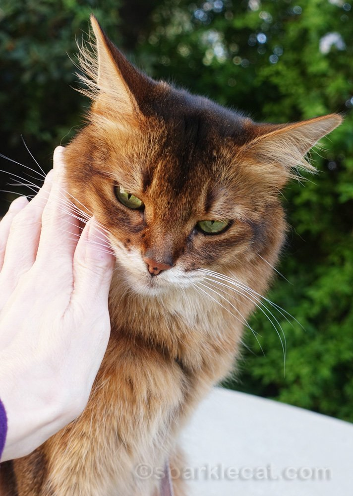 close up of somali cat being petted by owner