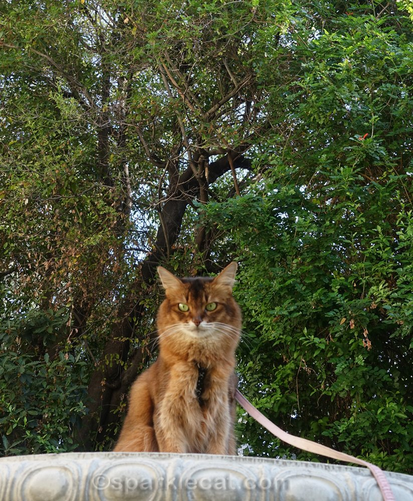 somali cat on concrete table in front of tree