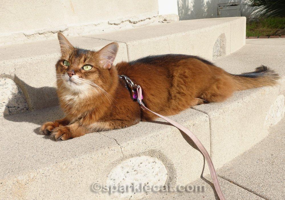 somali cat basking in the sun