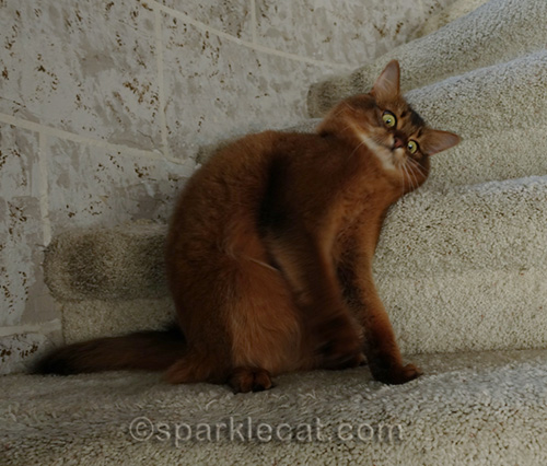 Caturday outtakes of somali cat looking demented
