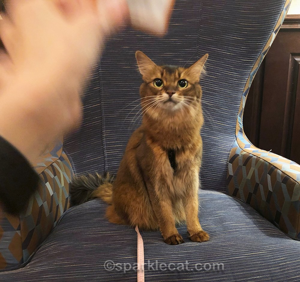 somali cat staring at her human's hand, which has accidentally gotten into the shot
