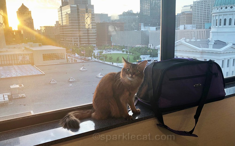 somali cat giving her human a silly look in some fun outtakes from the cat writers conference