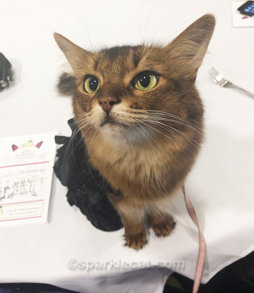 somali cat outtake from the Cat Writers Awards Banquet