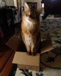 somali cat in a box, looking cute