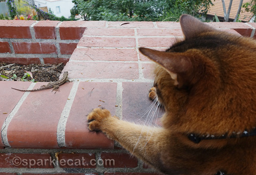 excited somali cat staring at lizard