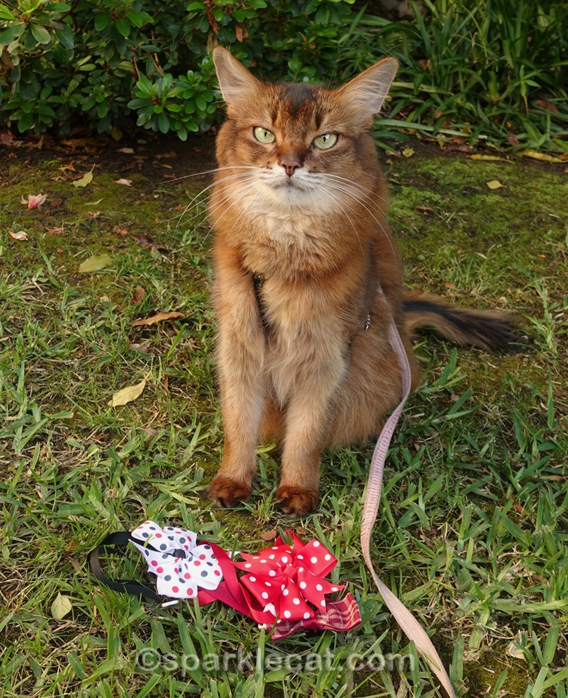 Summer is a cat bow tie model today, as she poses in a variety of bow ties from pet website Buster and Dickens.