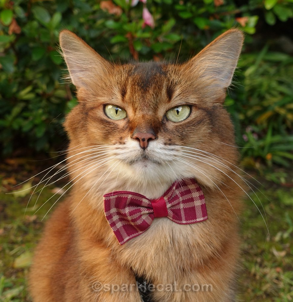 close up of somali cat wearing red plaid bow tie