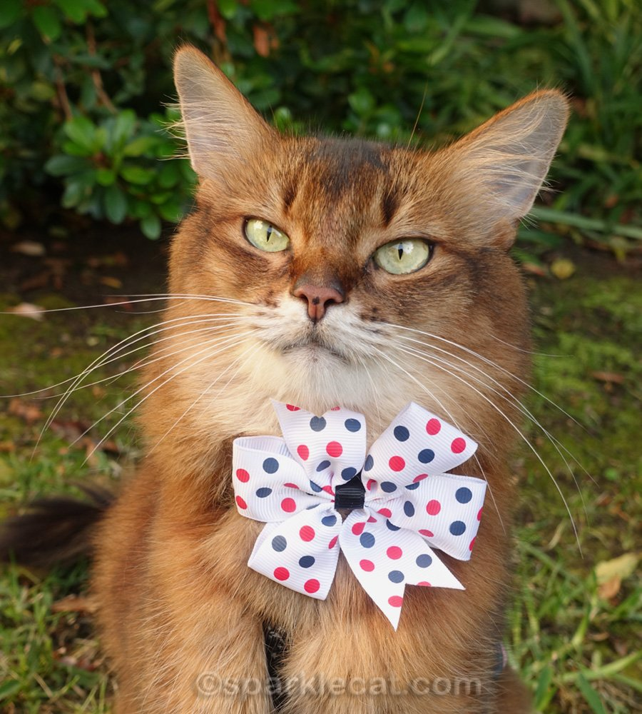 somali cat in white tie with blue and red polka dots