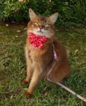 somali cat wearing a red polka dot bow tie