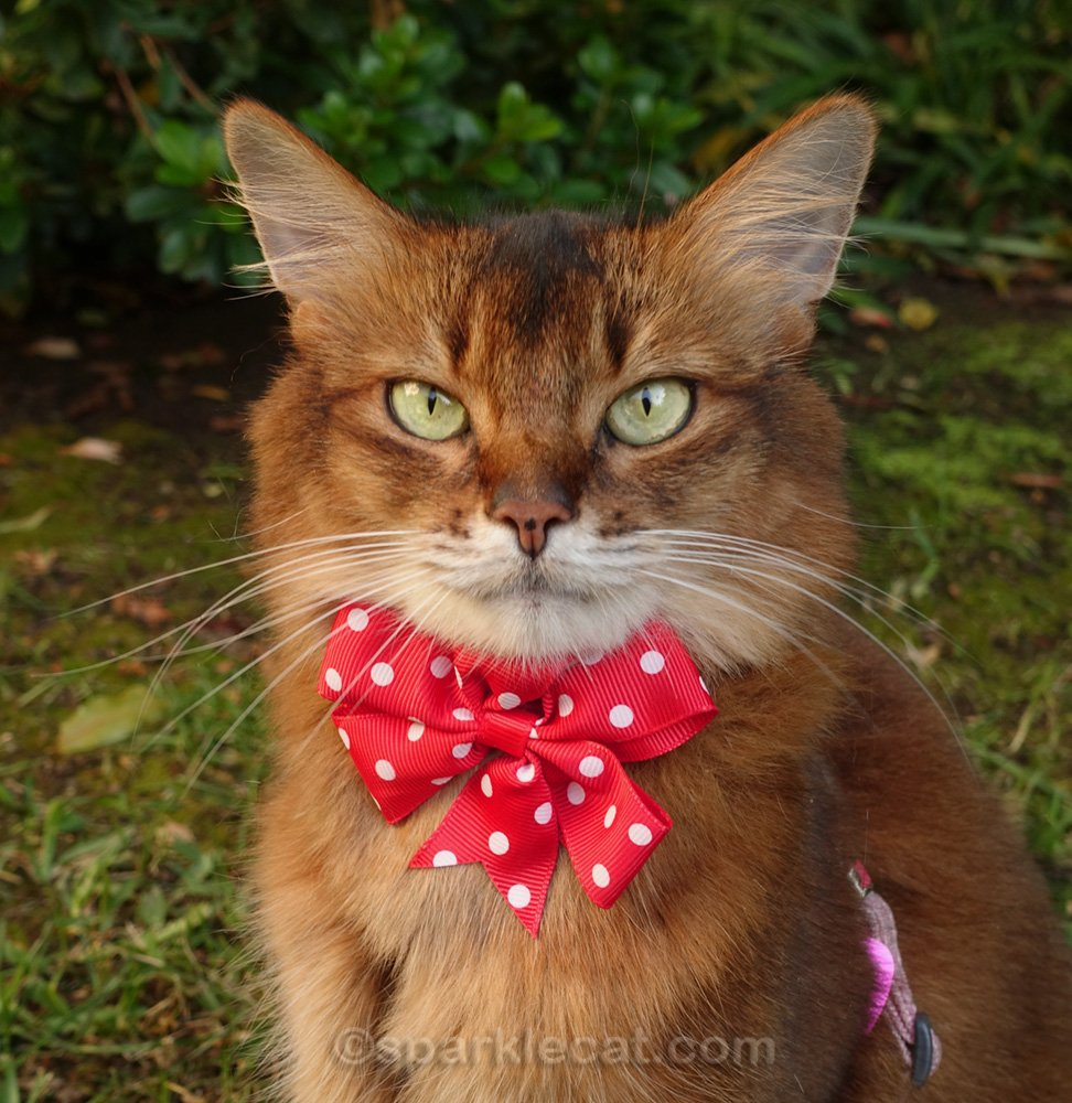 close up of somali cat wearing red polka dot bow tie