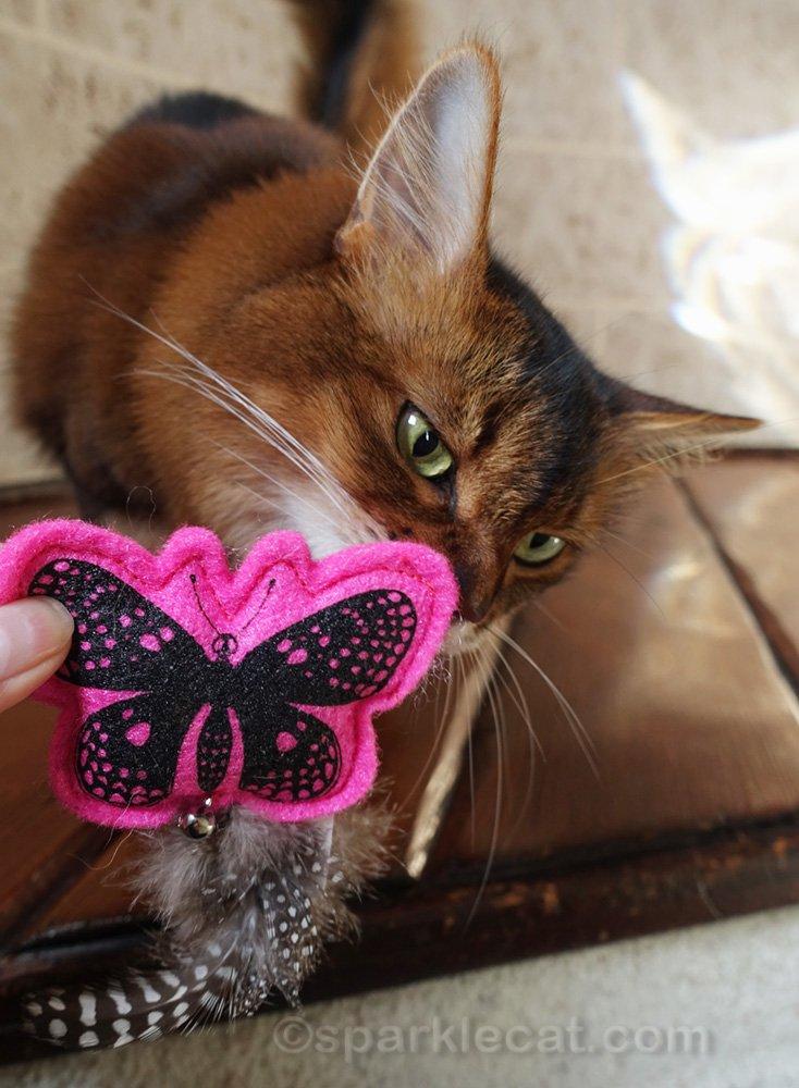 somali cat sniffing catnip toy
