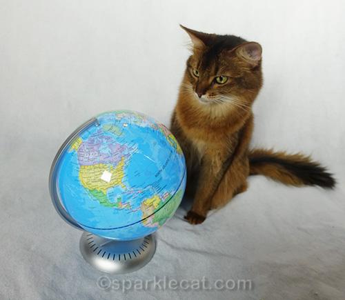 somali cat looking intently at globe