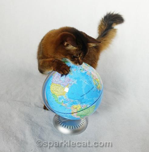 somali cat pawing at globe