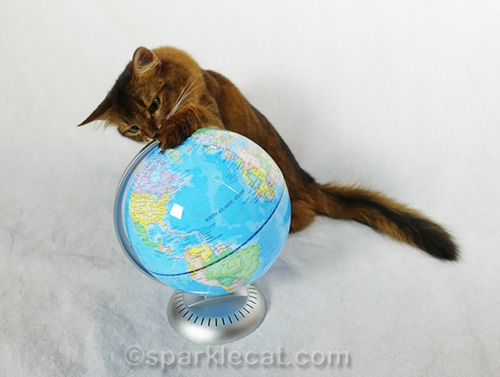 somali cat pawing treats off globe