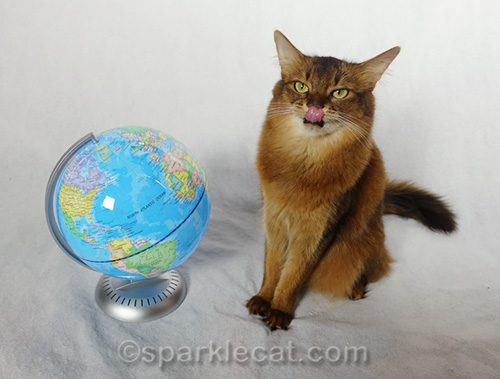 Somali cat licking her nose after globe photo shoot