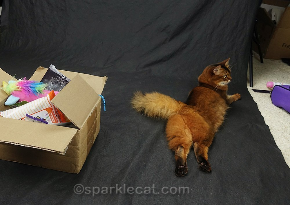 somali cat waiting for video shoot to be set up