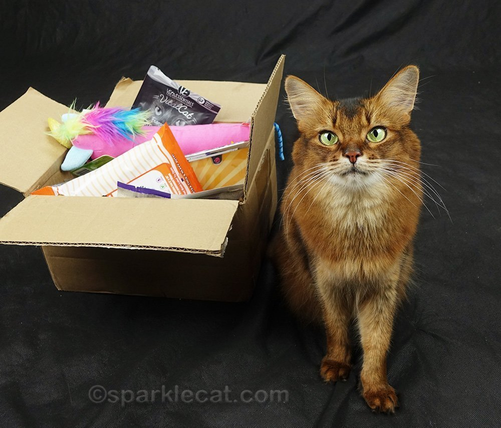 somali cat ready for a video shoot
