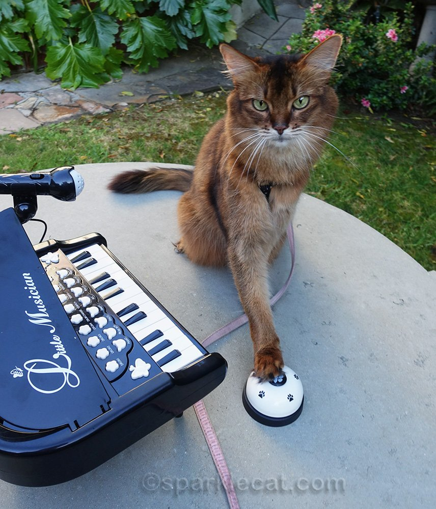 somali cat outside with piano, ringing a bell