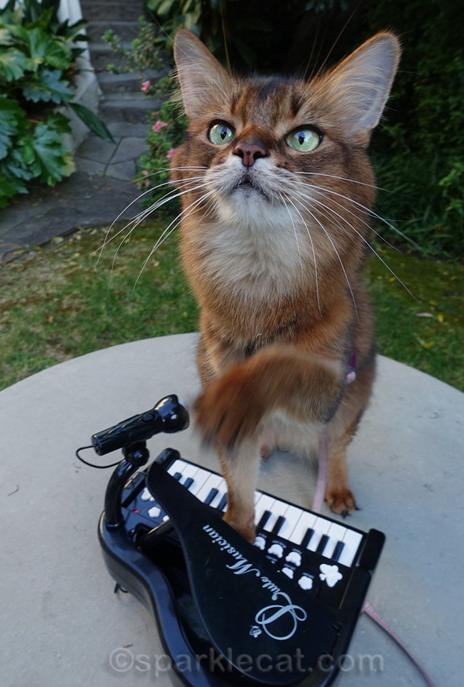 somali cat getting excited about piano playing