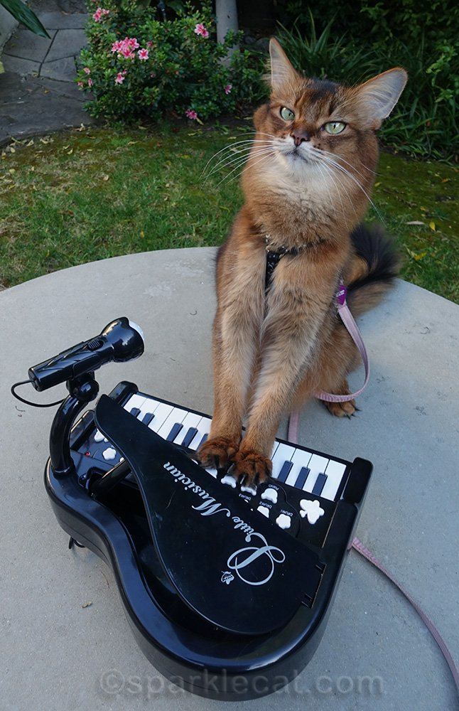 somali cat posing with piano