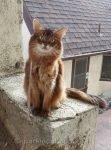 somali cat posing on a stucco wall