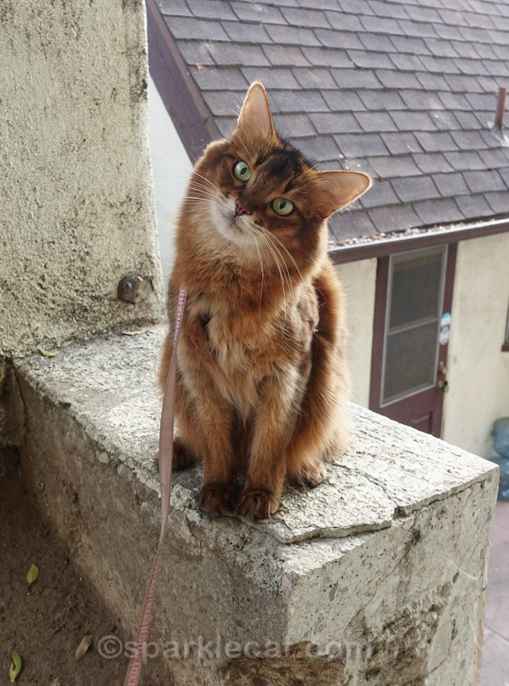 cute Somali cat on wall with her head tilted