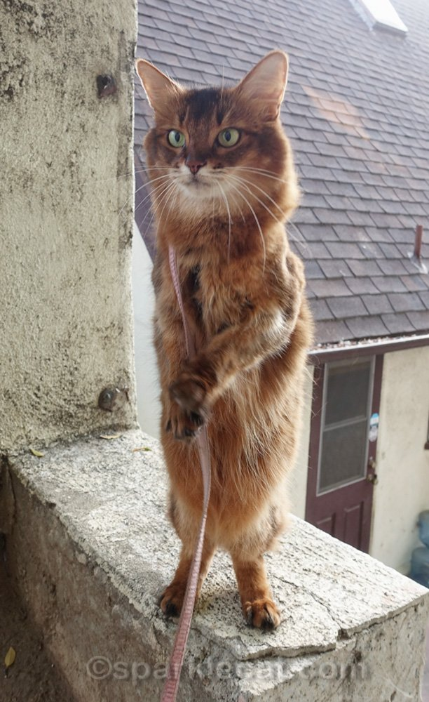 Somali cat standing on hind legs on stucco ledge