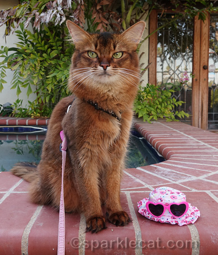 somali cat by jacuzzi next to cat hat with kitty sized sunglasses