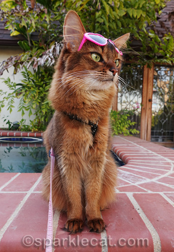 somali cat with kitty sunglasses perched on her forehead