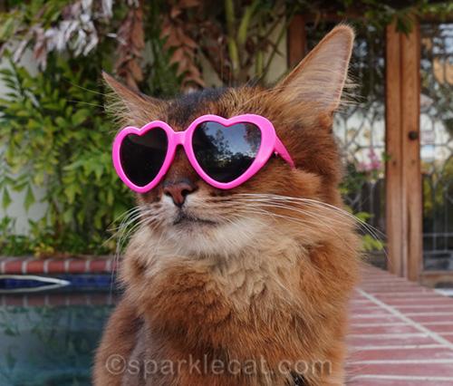 somali cat wearing celebrity kitty sunglasses