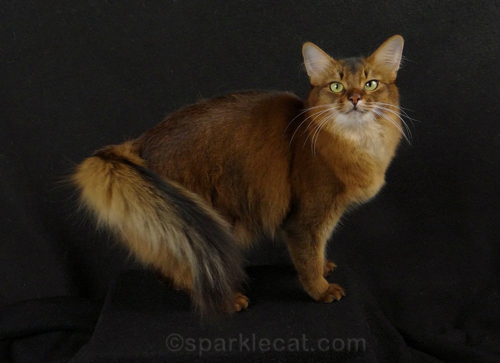 somali cat during glam photo shoot at home