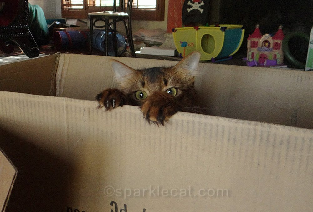 somali cat playing in box