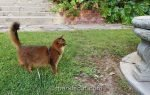 somali cat stunned by condition of concrete table